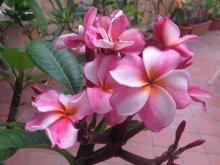 flori exotice plumeria