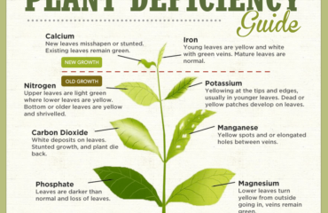 Deficientele in nutrienti ale plumeriei